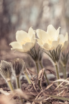Flor de pulsatilla de primavera na natureza, fundo natural. cena floral botânica com floco de neve florescendo do lado de fora