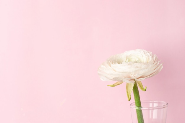 Flor de ranúnculo branco padrão em rosa pastel