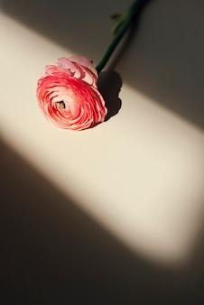 Flor de ranúnculo rosa desabrochando