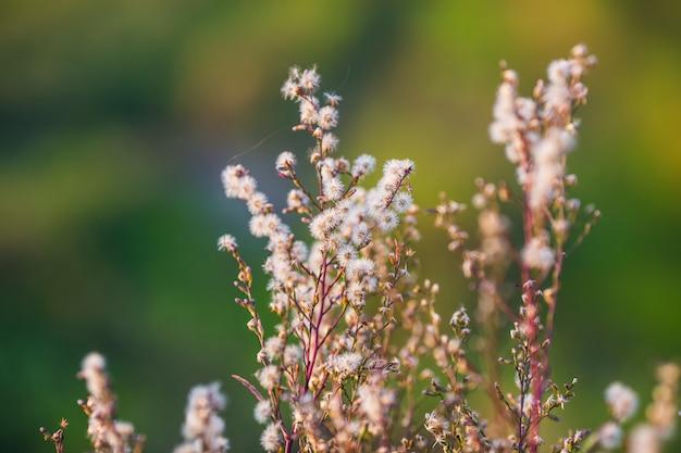 Flor de relva e luz do sol