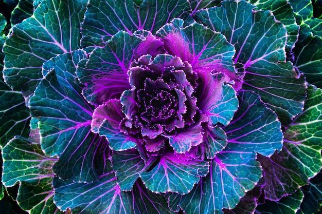 Flor de repolho roxo