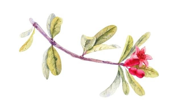 Flor de romã em aquarela, isolada no branco. ilustração botânica desenhada à mão