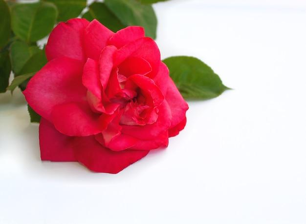 Flor de rosa de jardim rosa em fundo branco