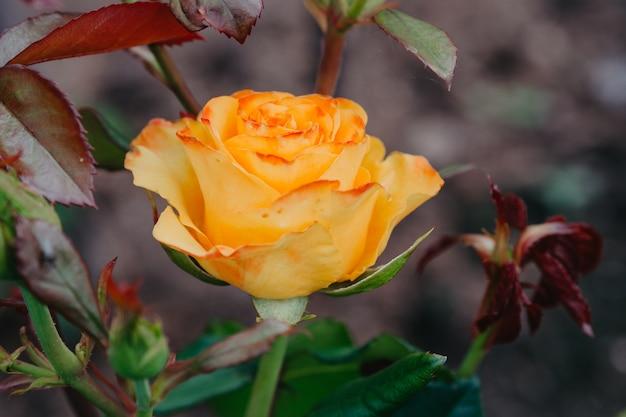 Flor de rosa do jardim crescendo no jardim, vista de cima. natureza.