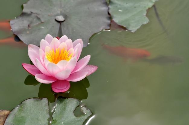 Flor-de-rosa lírio d'água florescendo no lago com peixes koi natação