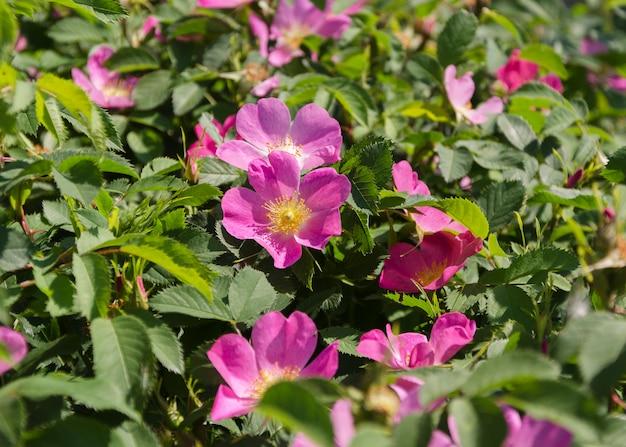 Flor de rosa mosqueta rosa ao sol 4