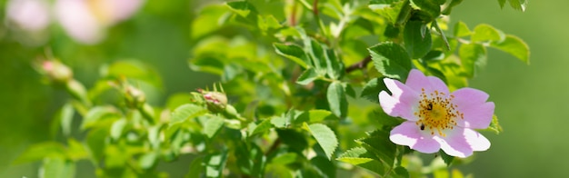 Flor de rosa selvagem. rosa mosqueta é um gênero selvagem de plantas da família das rosas. uma variedade de rosa canina é uma rosa.