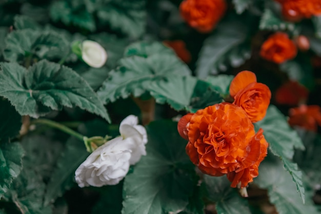 Flor de roseira flores vermelhas e brancas com efeito de luz radial embaçada