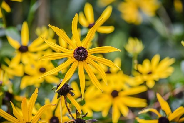 Flor de rudbeckia fulgida
