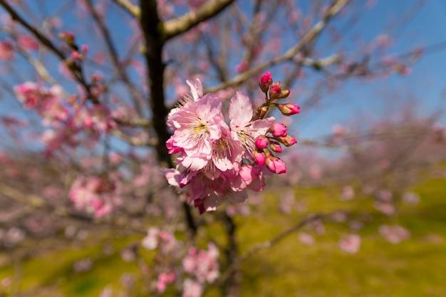 Flor de sakura na festa da cerejeira brasileira