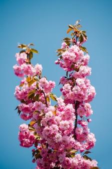 Flor de sakura no céu azul