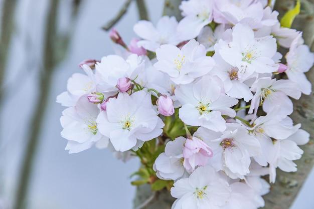 Flor de sakura rosa, árvore de flor de cerejeira no parque.