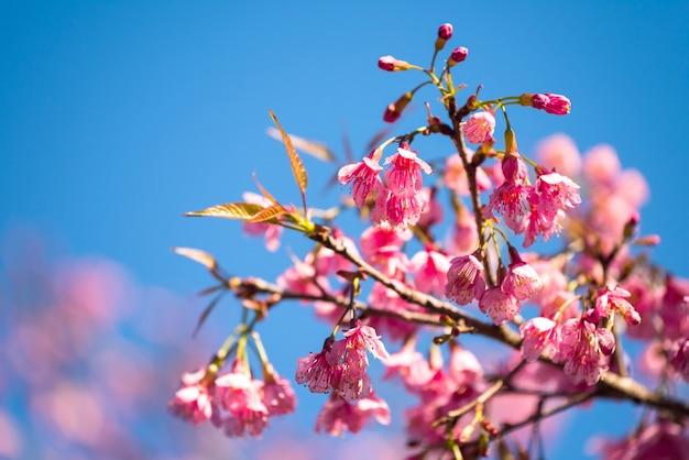 Flor de sakura tailandês rosa bonita, himalaia selvagem ou prunus cerasoides, contra o fundo do céu azul, chiang rai, tailândia. flor de cerejeira em plena floração na primavera.