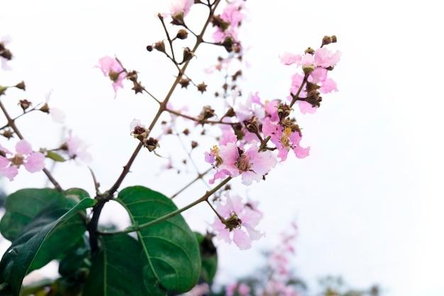 Flor de sakura