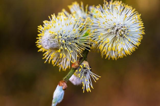 Flor de salgueiro amentilhos