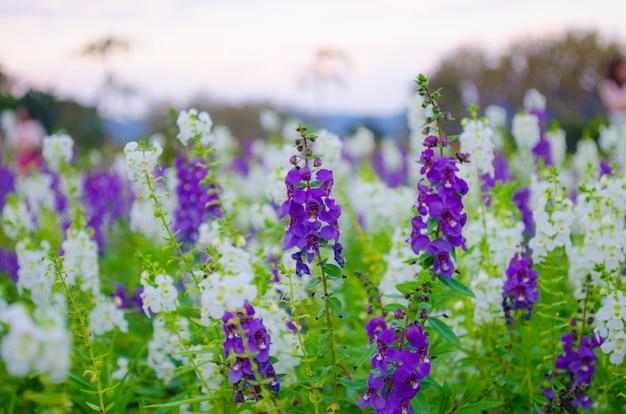Flor de sálvia branca e violeta