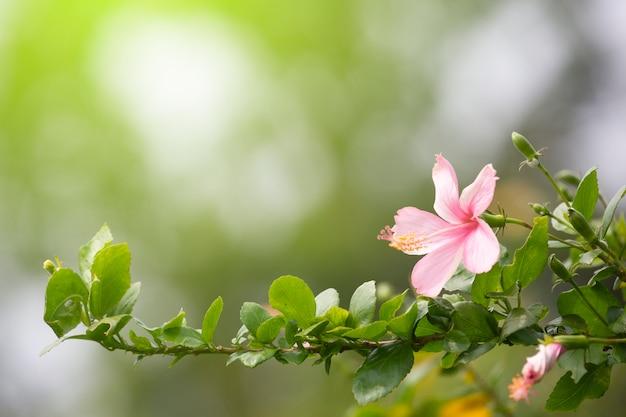 Flor de sapato, hibisco, chinês rosa na primavera.