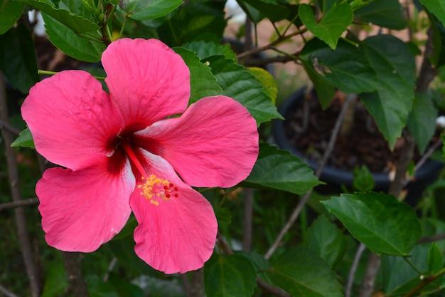 Flor de sapato hibisco rosa chinesa