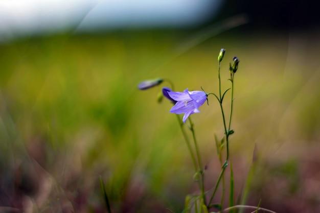 Flor de sino em um prado