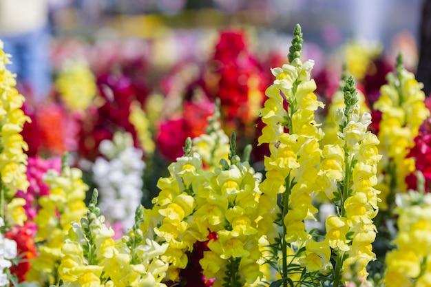 Flor de snapdragon e folha verde no jardim