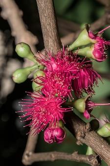 Flor de syzygium na árvore