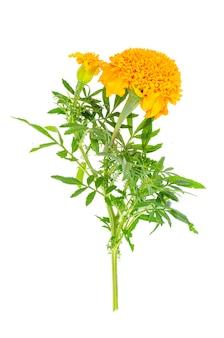 Flor de tagetes laranja isolada no fundo branco.