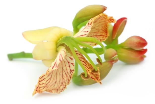 Flor de tamarindo close-up sobre fundo branco