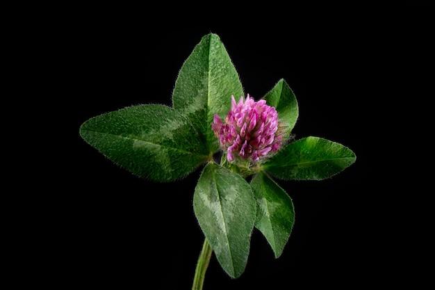 Flor de trevo rosa com folhas verdes em um fundo preto.