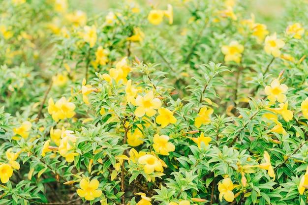 Flor de trombeta dourada na ásia