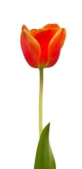 Flor de tulipa amarela laranja única com haste e folha isolada no branco