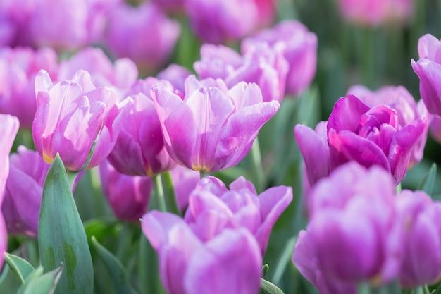 Flor de tulipa com fundo verde folha no campo de tulipa no inverno ou dia de primavera