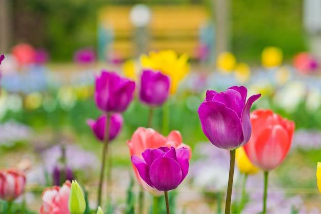 Flor de tulipa, fundo de natureza