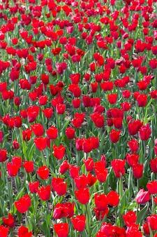 Flor de tulipa maravilhosa no jardim de tulipas durante o verão