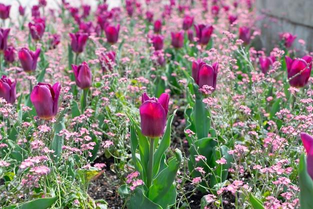 Flor de tulipa marrom vermelho escuro com fundo desfocado close-up.