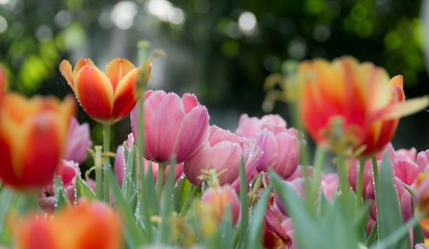 Flor de tulipa na estação chuvosa