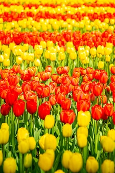 Flor de tulipa na temporada de primavera em holanda.