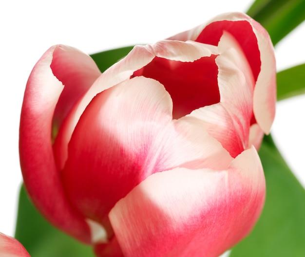 Flor de tulipa rosa e branca de férias de primavera isolada no fundo branco
