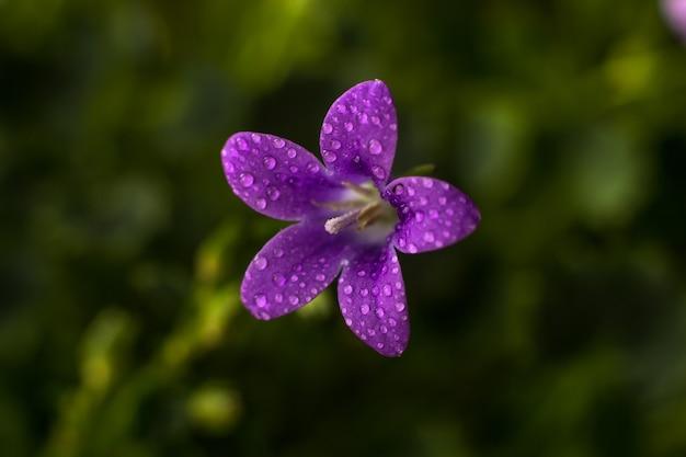Flor de uma campanula de planta doméstica em gotas de água