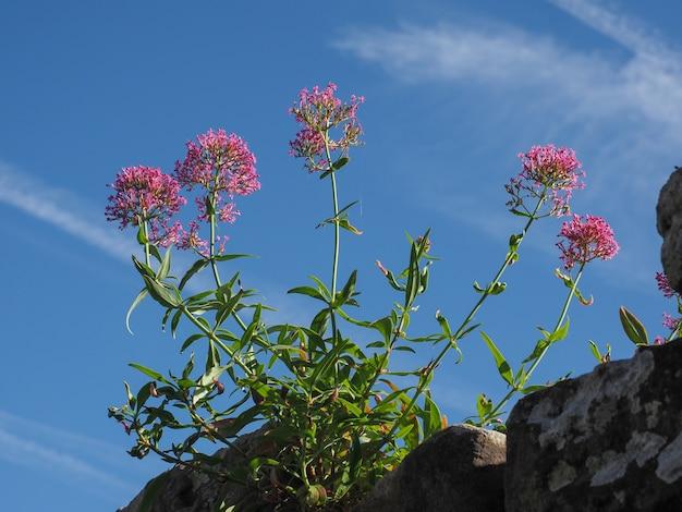 Flor de valeriana rosa sobre céu azul