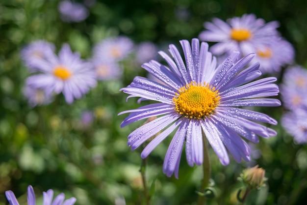 Flor de verão com gotas de orvalho na turva
