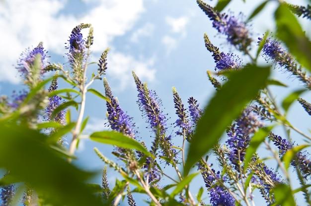 Flor de veronica no céu azul. vista do chão.