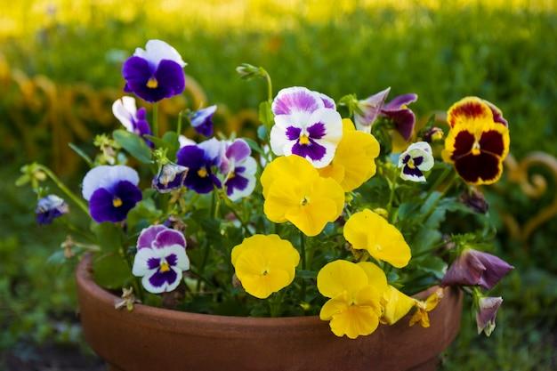 Flor de viola amor-perfeito em tricolor amarelo e violeta ou roxo crescendo em vaso decoração de plantas para jardim
