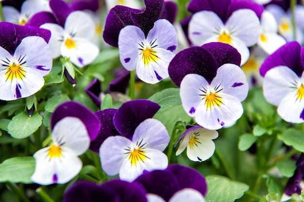 Flor de viola heartsease gênero de plantas com flores da família violeta violaceae beautiful
