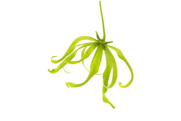Flor de ylang-ylang ou cananga odorata isolada no fundo branco com traçado de recorte.