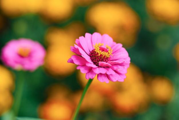 Flor de zínia rosa em close-up no jardim de verão