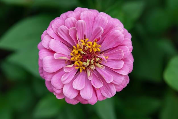 Flor de zínia roxa brilhante, lindas flores de verão para crescer no jardim, close-up de flor rosa de verão
