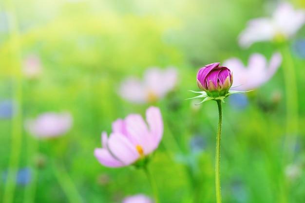 Flor delicada do cosmos na cama de flor. flor desabrochando na natureza.