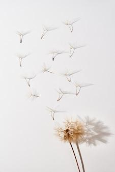 Flor dente de leão com botões de sopro voando no fundo branco