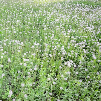 Flor dente de leão fofo branco em campo verde