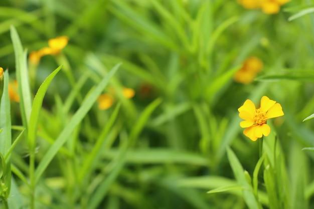 Flor diasy em tropica